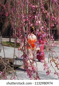 kimono women and cherry blossoms flower kakunodate japan
