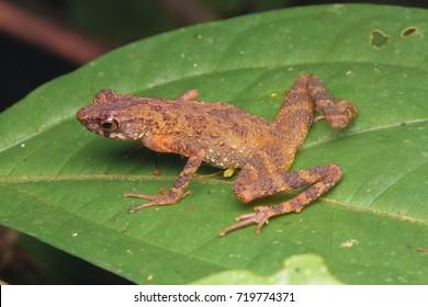 Kinabalu Slender Toad (Ansonia hanitschi)