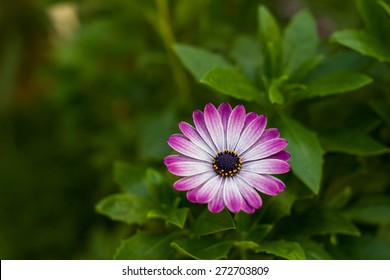kind of daisies isolated in garden