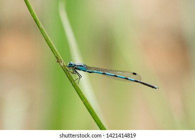 A kind of damselfly, with blue color.