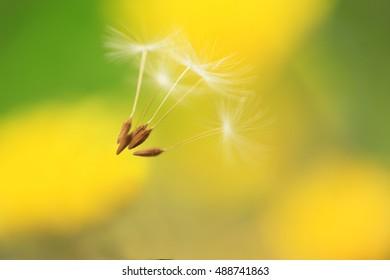 Kind of the dandelion