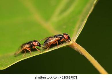 a kind of muscidae insects on a green leaf, in the natural wild state, Luannan County, Hebei Province, China.