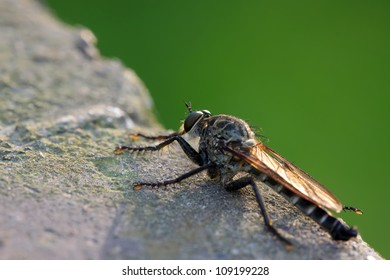 a kind of pirates of the tabanidae insects