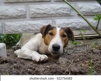 a kind of smooth-haired Fox Terrier.the dog is trying to crawl under the fence.