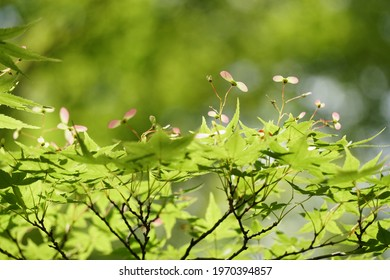 A kind of winged maple leaf in early summer