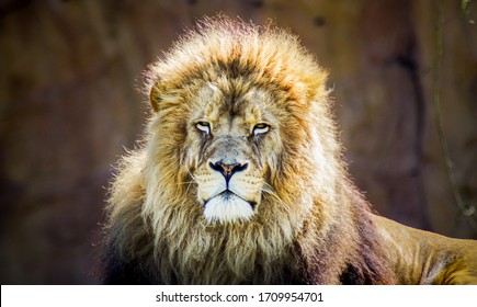 The king of all animals, the lion.