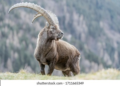 The King of the Alps mountains (Capra ibex)