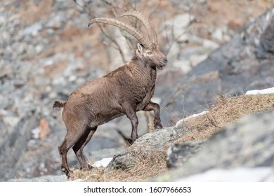 The king of Alps mountains, portrait of Alpine ibex in rocky region (Capra ibex)