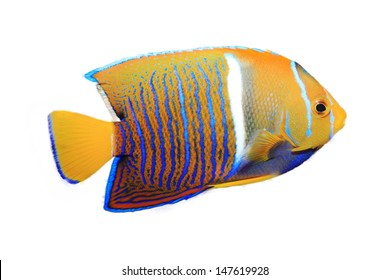 King Angel Fish isolated on white