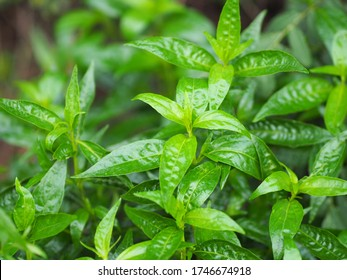 King of bitters Andrographis paniculata Burm, Wall. Ex Nees, Fah Talai jhon, Thai herbs relieve sore throat, reduce fever, heat up the cold green leaves vegetable nature protect corona