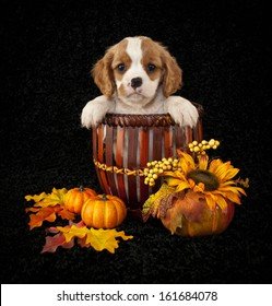 King Cavalier puppy sitting in a basket with fall decor around him.
