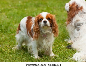 King Charles Cavalier Dog in a sunny day on green grass.