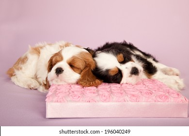 King Charles Cavalier puppies sleeping napping snoozing on light pink background