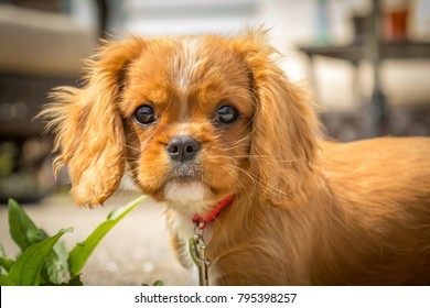 King Charles Cavalier puppy.  This is a very loving and wonderful family pet.
