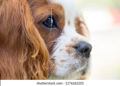King Charles Spaniel dog breed of the spaniel type.