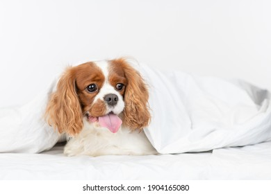 King charles spaniel dog  lies under a warm blanket on a bed at home