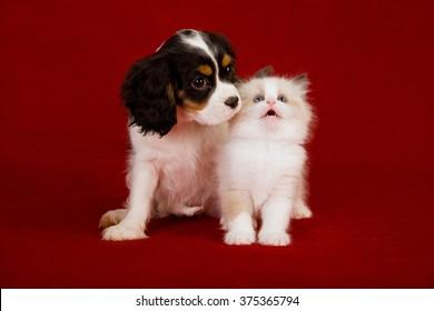 King Charles Spaniel puppy and Ragdoll kitten sitting on deep red burgundy background