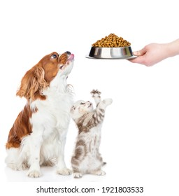Сavalier King Charles Spaniel puppy and tabby  kitten sit togetherand look away and up on bowl of dry food. isolated on white background