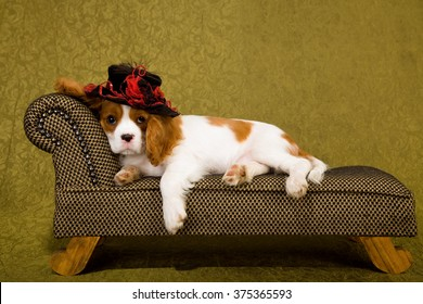 King Charles Spaniel puppy wearing red and black hat lying down on chaise sofa couch against green background