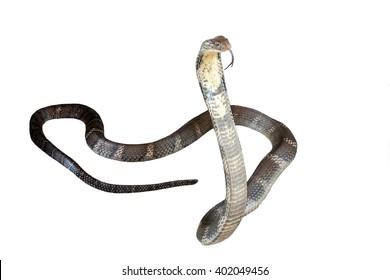 King cobra Isolated on white background.