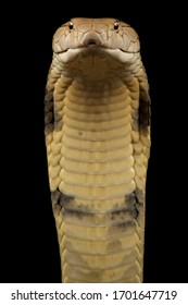 The King cobra (Ophiophagus hannah)