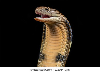 The king cobra (Ophiophagus hannah), also known as the hamadryad, is a species of venomous snake in the family Elapidae, endemic to forests from India through Southeast Asia.
