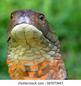 Ophiophagus Hannah Images, Stock Photos & Vectors | Shutterstock