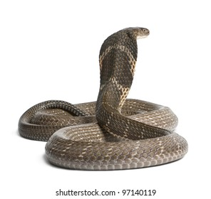 king cobra - Ophiophagus hannah, poisonous, white background