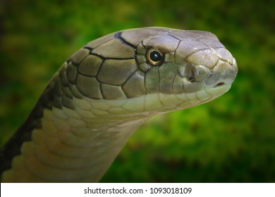 The King Cobra, Ophiophagus hannah. Portrait of a world's longest venomous snake. Dangerous animal for travelers in asian destinations. Wildlife photography.