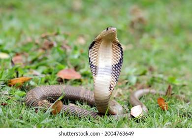 The King Cobra (Ophiophagus hannah) is the world's longest venomous snake.