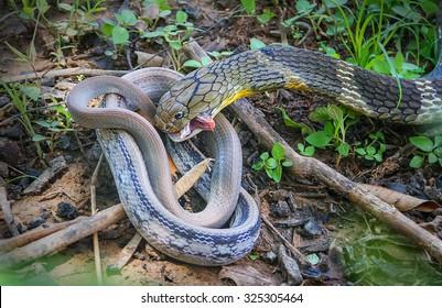 King Cobra snake,Naja bait Village Pet Snake,Khon kaen,Thailand.