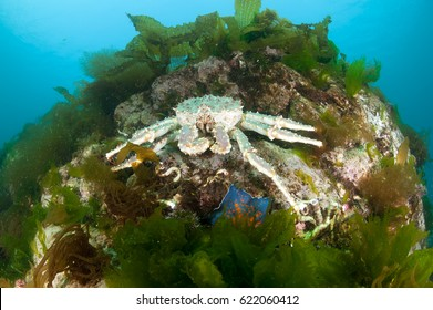 king crab in the deep sea