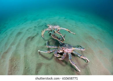 King crabs on the seabed