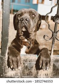 King dog cane corsa Toni
