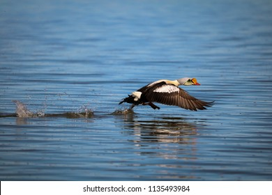 King Eider drake takes flight. Queen Maud Gulf Migratory Bird Sanctuary, Nunavut, Canada.