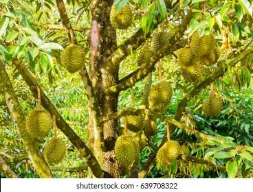 Durian Tree Images, Stock Photos & Vectors | Shutterstock