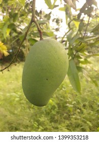 """The king of the fruits,"" mango fruit is one of the most popular, nutritionally rich fruits with unique flavor, fragrance, taste, and heath promoting qualities. Scientific name: Mangifera Indica."