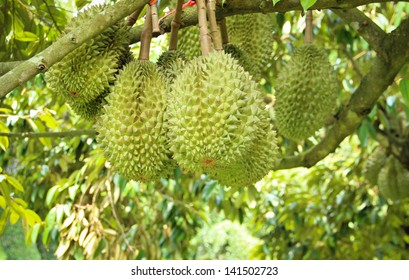 The King of fruits in Thailand