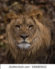 The King of the Jungle at the Zoo of Buffalo, New York, April 26th 2015