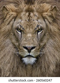 king leon in front view , he has her face full of scars