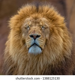 King lion in Africa, head, uncombed mane
