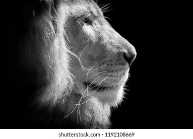 king lion head  isolated on black background