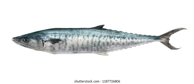 King mackerel fish isolated on white background