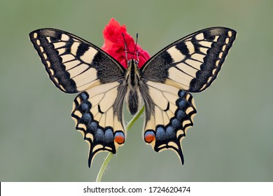 The King of the meadows. portrait of the Old World Swallowtail (Papilio machaon)