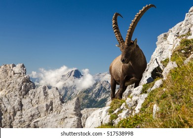 King of the mountains - Alpine Ibex (Capra Ibex). Slovenian Alps, Julian Alps, Triglav National Park, Slovenia, Europe.