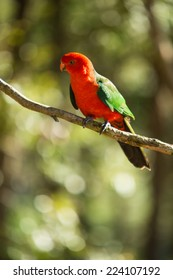 King Parrot bird on a tree branch