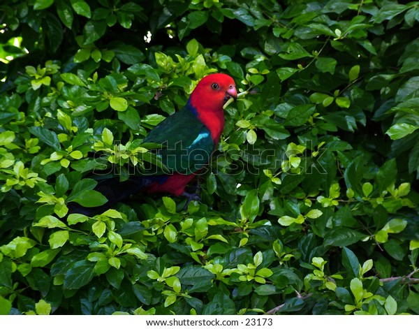 King parrot in the bush, just eating some of the new shoots from the plant.