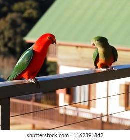 King Parrots Bunya Mountains