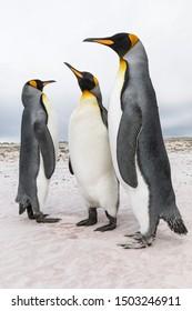 King Penguin, Aptenodytes patagonicus, adult group courtship bonding, Volunteer Point, Falkland Islands, November