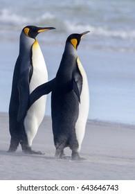 King Penguin, Aptenodytes patagonicus, of Sounder Island, Falkland Islands-Malvinas
